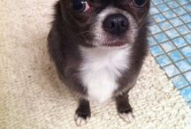 <3 my chihuahua!  / I have a 3 year old blue chihuahua named Uno and I KIND OF adore her!