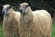 Sheep, Rams, Goats, Etc. / Awesome animals with great hair! / by Marcea S