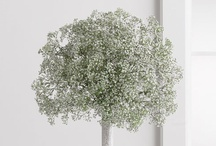 Baby's breath  / Beautiful baby's breath - for wedding bouquets, table decoration, etc.
