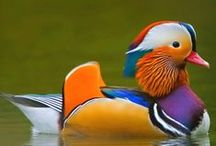 Avian Tribe: DUCK & WATERFOWL / Ducks are connected to feminine energies, the astral plane  and emotions through their connection with water.  Ducks drink deeply from the waters of life.