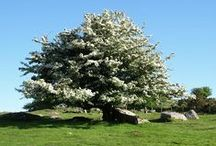 Celtic Tree: HAWTHORN / Also known as May Tree and White Thorn. Wands made of this wood are of great power. The blossoms are highly erotic to men. Hawthorn can be used for protection, love and marriage spells.