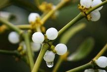 Celtic Tree: MISTLETOE / Also known as Birdlime, All Heal and Golden Bough. It was the most sacred wood of the Druids, and ruled the Winter Solstice. The berries are poisonous! Bunches of mistletoe can be hung as an all-purpose protective herb. The berries are used in love incenses.