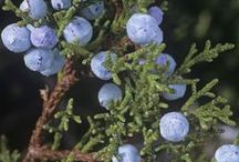 Celtic Tree: JUNIPER / Its berries were used with thyme in Druid and Grove incenses for visions. Juniper grown by the door discourages thieves. The mature berries can be strung and hung in the house to attract love.