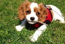 King Charles Cavalier and Other Cute Dogs