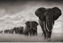 Amazing Animals 6~Elephants Strong but Gentle / Elephants captured a Piece of my <3