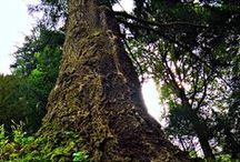 Alberi Monumentali Piemonte / Il tema degli alberi monumentali è particolarmente affascinante, di preciso rilievo per la storia del nostro territorio e del paesaggio che lo definisce #Piemonte