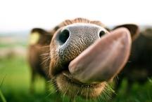 For the e-i-e-i-o | Farm Animals / farm, cow, calf, duckling, duck, chick, chicken, goat, kid, lamb, sheep, donkey, pigs, piglets, eieio, old mcdonald, happiness.