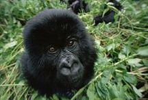 For the Primates | Monkeys, Gorillas, Apes / Monkeys, Chimpanzees, Orangutans, Gorillas, Spider Monkey, Primates