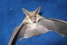 Bats / by Debra Browning