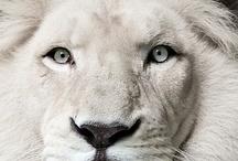 Animals ♘