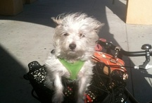 """Celie / Celie is my """"hairy hairless"""" Chinese Crested Dog. Her hair is too thin and fine to be a powder puff.  / by Kathleen McGregor"""