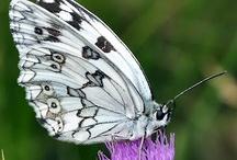 """Mariposas de Extremadura / Fotografías de las especies de """"Mariposas de Extremadura"""" de Manuel Martín Alzas"""