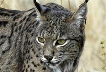 """Mamíferos de Extremadura / Imágenes de las especies de """"Mamíferos, claves para la identificación de la fauna extremeña"""" de Pérez-Bote J. L. y Cascos Chaves G."""