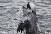 """Mamíferos marinos de Europa / Imágenes de las especies de la """"Guía de los mamíferos marinos de Europa"""" de R. Duguy y D. Robineau"""