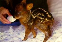 Pudu: The Littlest Deer / I dedicate this board to one of the most adorable creatures in the world.