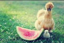 Silkies / Silkie Chickens - one of the sweetest breeds there is! / by Backyard Chicken Coops