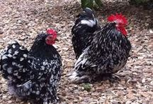 Pekins / Pekin chickens are another breed that is family friendly, and an absolute delight! / by Backyard Chicken Coops