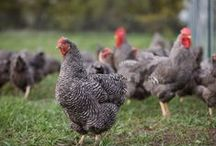 Barred Plymouth Rock / The Barred Plymouth Rock is a sweet bird perfect for first time chicken keepers and families. / by Backyard Chicken Coops