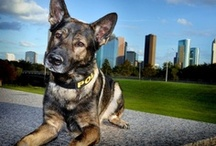 Police Dogs K-9 / Police dogs are said to be man's best friend and as a valued co-worker, they are much more. Police K-9 dogs are unsung heroes. Whether a German Shepherd, a Belgian Malinois or a blood hound beagle, these are some brave animals.
