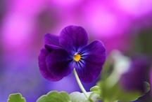 Purple Passion Forever! / by Aleda Jeanne Reid Owen