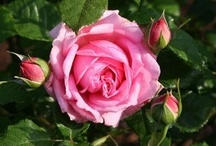 roses in my garden ♥ / Roses growing now or to be added to the rose gardens around my home. ♥