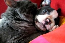 """Dogs-Boston Terriers / """"Lay down, pup; lay down,"""" ordered the man. """"Good doggie—lay down, I say.""""  """"You'll have to say, 'Lie Down,' mister,"""" declared a bystander. """"That's a BOSTON Terrier."""" / by Joan Halbig"""