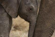 ELEPHANTS / Nature | Animals