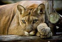 CATS - BIG / Nature | Animals | Cats | PANTERINAE: Lions * Jaguars * Leopards * Tigers          /  FELINAE: Serval * Ocelot * Lynx * Puma * Cougar * Cheetah * Wildcat