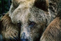 BEARS / Nature | Pandas * Koalas