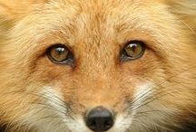 FOXES / Nature | Animals