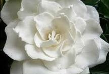 FLOWERS - WHITE / Nature