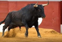 Touradas | Toros | Bullfighting / The most precious and artistic way of connecting with an extraordinary animal: the bull!