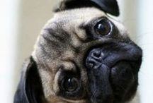 dogs and pugs / dogs and pugs