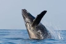For the: Whale Watchers / Enjoy spectacular whale watching in Los Cabos from December through March each year.
