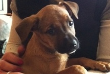 "shepherd boxer mix / by ""The Whimsical Lady"""