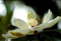 Magnolias / The beautiful blooms and blossoms of the sweet magnolia tree.