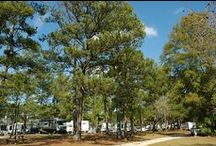 Pine Trees / Most areas in America have some type of a pine tree or evergreen.