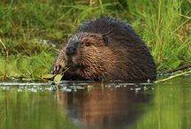 Beavers / Nature's engineers and builders.