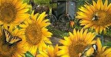 Sunflowers / What's not to like in a happy, round, yellow (mostly), sunny flower?