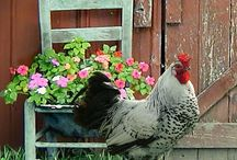 Chickens and Coop / by Tammy Kenagy