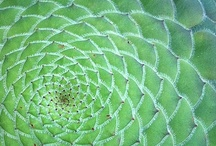 Golden Spiral / The Golden Ratio - a naturally occurring shape / by Brenda Tharp