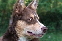 Lapinporokoira / Lapsk vallhund Lapponian herder