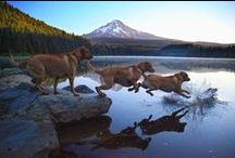 Mt Hood Dogs / Dogs love visiting Mt Hood to play in the snow or go swimming or hiking or just hang out with their people. #MtHood #Vacationrentals http://www.mthoodrentals.com/pet-friendly-rentals