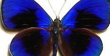 Butterfly /BIG MAC