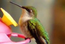 Hummingbirds  / by Chesparrow ~