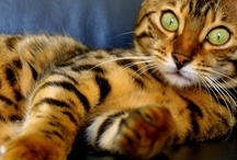 Cats:  Bengal / by Alicia