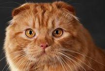 Cats:  Scottish Folds / by Alicia