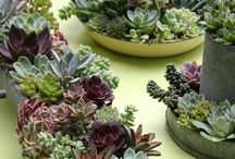Love, Love, Love Succulents and more / So many succulents to design for the garden and containers! / by Sharla