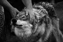 Canis lupus / by Marta Martinez Rubio