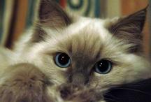 Ragdoll Cats / by Gretchen Johnson